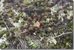 Plomp bekermos - Cladonia borealis